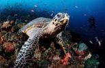 Thumbnail Hawksbill turtle (Eretmochelys imbricata), Komodo, Indo-Pacific, Indonesia, Southeast Asia, Asia