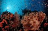 Thumbnail Sea-Fan and Anthias (Anthias), Komodo, Indian Ocean, Indonesia, Southeast Asia, Asia