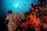 Thumbnail Coral reef with Anthias (Anthias), Komodo, Indian Ocean, Indonesia, Southeast Asia, Asia