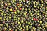 Thumbnail Peppercorns laid out to dry, Kerala, India, South Asia, Asia
