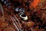 Thumbnail Colubrine sea krait, banded sea krait or yellow-lipped sea krait (Laticauda colubrina) Bali, Indian Ocean, Indoesia