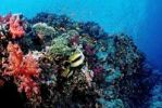 Thumbnail Colorful coral reef, Brother Islands, Red Sea, Egypt