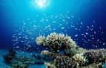 Thumbnail Corals and Green Chromis or Damselfish (Chromis viridis), Nuweiba, Sinai, Red Sea, Egypt, Africa