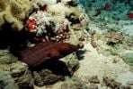 Thumbnail Giant Moray (Gymnothorax javanicus), Red Sea, Sudan, Africa