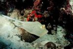Thumbnail Blue-spotted stingray (Taeniura lymma), Red Sea, Sudan, Africa