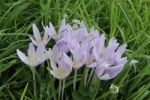 Thumbnail Autumn crocus also known as meadow saffron or naked lady (Colchicum autumnale), Peilstein, Triestingtal valley, Lower Austria, Austria, Europe