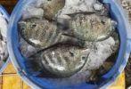Thumbnail Fish on ice, Fish Market, Kochi, Fort Cochin, Kerala, South India, South Asia
