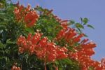 Thumbnail Orange Trumpets (Pyrostegia venusta)