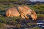 Thumbnail Lioness (Panthera leo), Chobe National Park, Botswana, Africa