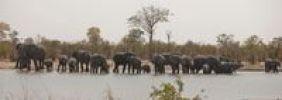 Thumbnail Elephants (Loxodonta africana), Chobe National Park, Botswana, Africa