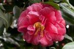 Thumbnail Flower, Camellia (Camellia japonica)