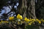 Thumbnail Winter Aconite or Wolf's Bane (Eranthis hyemalis, Syn Eranthis hiemalis L.), on a meadow