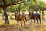 Thumbnail horses beneath olive trees, Peloponnese, Greece