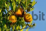 Thumbnail oranges hanging on tree, Greece Citrus aurantium