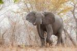 Thumbnail African Bush Elephant (Loxodonta africana), Chobe National Park, Botswana, Africa