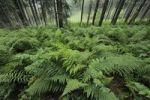 Thumbnail Fern, Mala Fatra National Park, Slovakia, Europe
