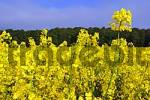 Thumbnail rape field, blooming rape in front of a forest-edge