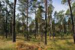 Thumbnail light pine-tree forest, typical for the north-eastern Germany, Mecklenburg - West-Pomerania, Germany