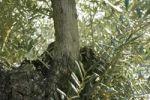 Thumbnail Olive tree (Olea europaea), detail