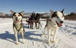 Thumbnail Man, musher on a dog sled, team of sled dogs, two lead dogs, leaders, Alaskan Huskies, frozen Yukon River, Yukon Territory, Canada