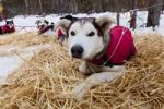Thumbnail Sled dog with dog coat resting on straw, stake out cable, Alaskan Husky, Yukon Territory, Canada