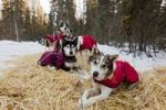 Thumbnail Sled dogs with dog coats resting on straw, stake out cable, Alaskan Huskies, Yukon Territory, Canada
