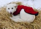 Thumbnail White sled dog with dog coat resting on straw, curled up, stake out cable, Alaskan Husky, Yukon Territory, Canada