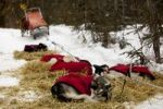 Thumbnail Sled dogs with dog coats resting on straw, stake out cable, Alaskan Huskies, dog sled behind, Yukon Territory, Canada