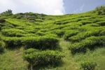 Thumbnail Tea plantation, Cameron Highlands, Malaysia, Southeast Asia, Asia