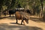Thumbnail Water buffalo, Nyaung Shwe, Inle Lake, Shan State, Myanmar, Burma, Southeast Asia