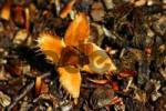 Thumbnail beech-nut, Beech Fagus sylvatica