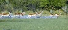 Thumbnail Lechwe or Southern Lechwe (Kobus leche), Okavango Delta, Botswana, Africa