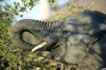 Thumbnail African elephant (Loxodonta africana), Okavango Delta, Botswana, Africa