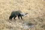 Thumbnail Bat-eared Fox (Otocyon megalotis), Okavango Delta, Botswana, Africa