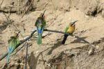Thumbnail European Bee-eater (Merops apiaster), Zambia, Africa