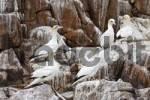 Thumbnail gannets Sula bassana Saltee Islands, Ireland