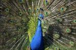 Thumbnail Indian Peafowl (Pavo cristatus) displaying