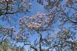Thumbnail Saucer Magnolia (Magnolia x soulangeana), Amabilis cultivated form