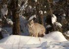 Thumbnail Canadian lynx (Lynx canadensis), Yukon Territory, Canada