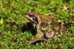 Thumbnail Grass frog Rana temporaria