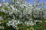 Thumbnail Blooming cherry trees Prunus avium in an dandelion-meadow Taraxacum officinale - Altes Land, Hamburg, Lower Saxony, Germany, Europe