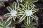 Thumbnail Hoar frost crystals and frozen dew drops on young leaves of a lupine (Lupinus), Bavaria, Germany