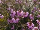 Thumbnail Blooming Winter heath, Winter Flowering Heather or Spring heath (Erica carnea, Erica herbacea), Bavaria, Germany