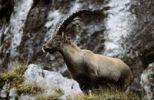 Thumbnail Ibex (Capra ibex), Isarwinkel, Upper Bavaria, Bavaria, Germany, Europe