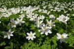 Thumbnail Wind Flowers Wind Anemones in Spring Anemone nemorosa