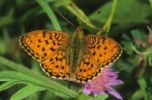 Thumbnail Lesser Marbled Fritillary (Brenthis ino on) looking for nectar