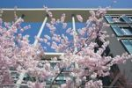 Thumbnail Flowering Japanese cherry tree in front of a modern office building, Munich, Bavaria, Germany, Europe