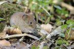 Thumbnail Bank vole (Myodes glareolus)