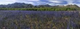 Thumbnail Purple lupins (Lupinus) and trees by the Awatere Road with the mountains of the Inland Kaikoura Range at back, panoramic view, Molesworth, South Island, New Zealand, Oceania