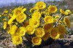 Thumbnail Flowering coltsfoot, foalfoot (Tussilago farfara), medicinal plant